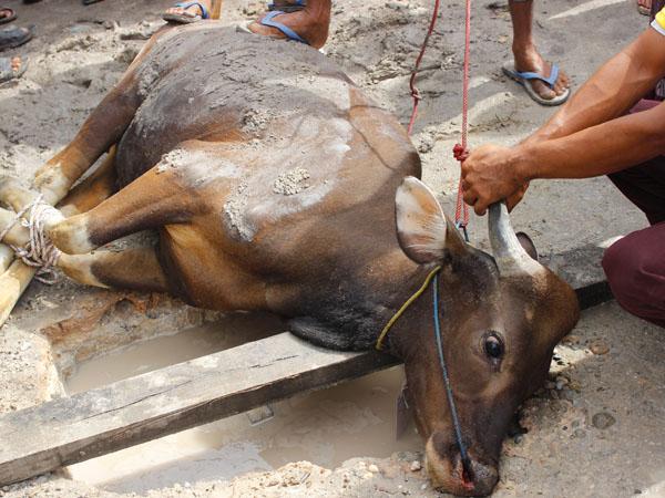 Belanda Larang Ekspor Daging Kurban Demi Kurangi Penderitaan Hewan