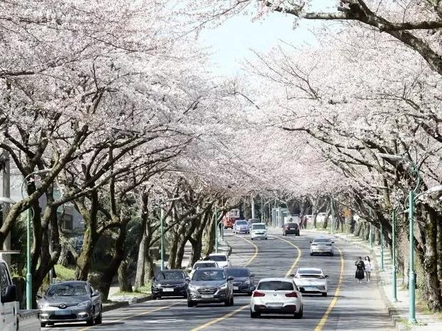 Seminggu Lebih Cepat, Bunga Sakura Mulai Bermekaran di Pulau Jeju