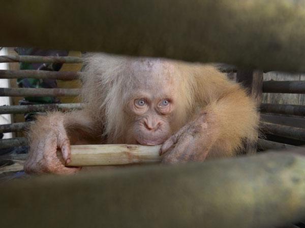 Penemuan Orangutan Albino Langka di Kalteng Jadi Sorotan Media Internasional