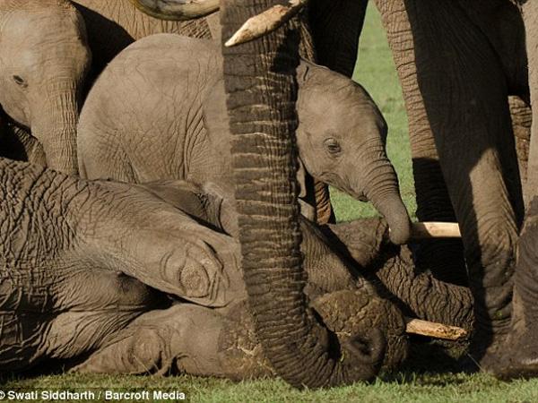 Saksikan Sang Ibu Terbunuh, Bayi Gajah Ini Terlihat Murung dan Alami Trauma