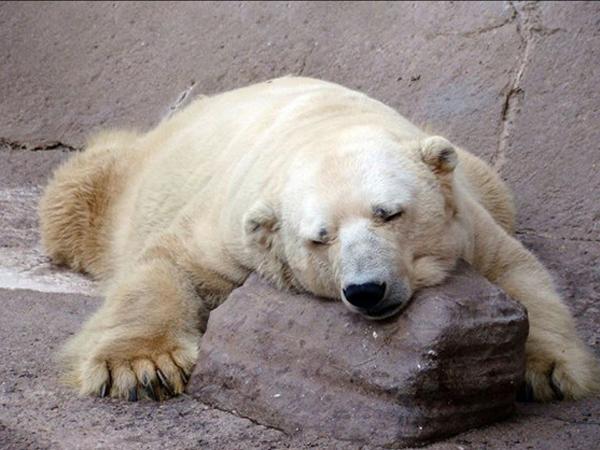 Yuk Selamatkan Arturo, Beruang Kutub Paling Depresi Sedunia!