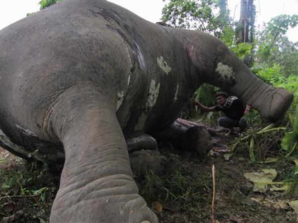 Dua Gajah Diduga Diracun Ditemukan Tewas Mengenaskan di Aceh Jaya