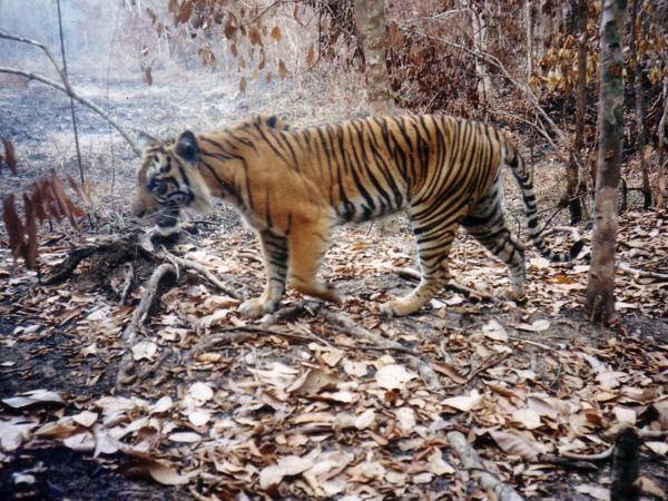 Habitat Dibabat, Harimau Sumatera di Sumsel Tersisa 20-an Ekor