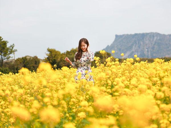 Catat Waktu Bunga Musim Semi Mulai Bermekaran Cantik di Pulau Jeju, Korea Selatan!