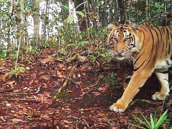 Duh, Pelajar di Riau Bertemu Harimau Saat Perjalanan Berangkat Ke Sekolah!