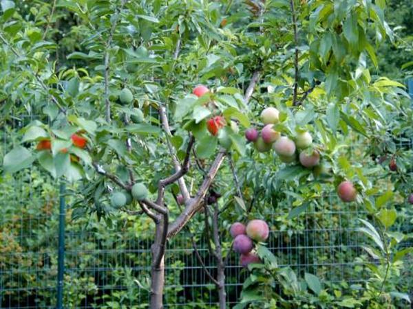 Wow! Satu Pohon Ini Bisa Tumbuh 40 Jenis Buah Berbeda