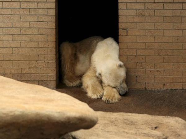 Wang, Beruang Kutub yang Meninggal Karena Patah Hati