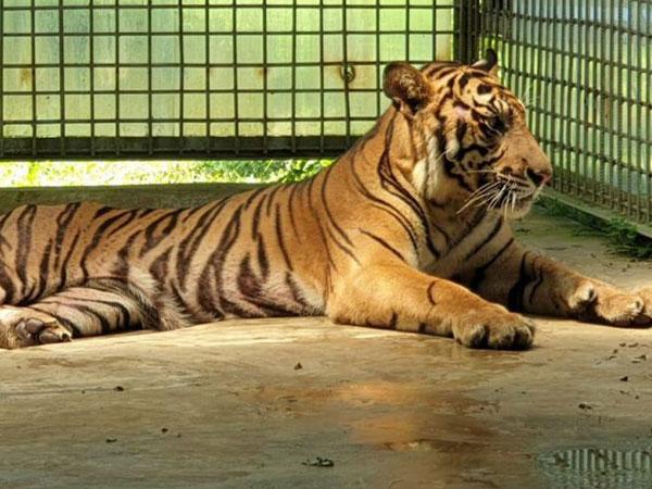 Alasan Harimau Sumatera Selalu Direhabilitasi di Sumbar Setelah Dievakuasi Meski Makan Waktu Lama
