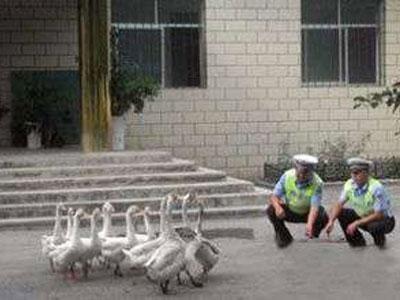 Polisi China Gunakan Angsa Untuk Berjaga