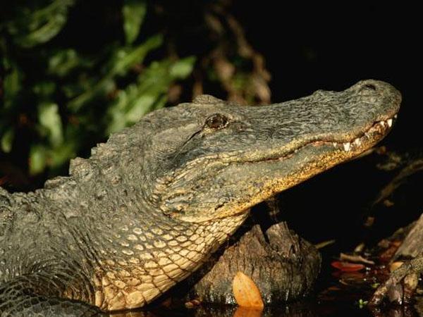 Jasad Bocah 2 Tahun yang 'Diculik' Aligator di Danau Orlando Ditemukan Utuh