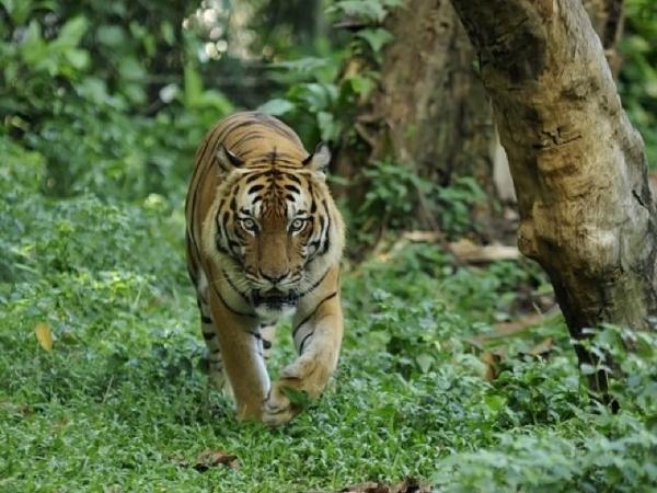 [BREAKING NEWS] Harimau di Amerika Dinyatakan Positif Virus Corona