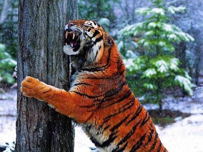 Bunuh Anak Harimau, 5 Pria Terperangkap di Pohon