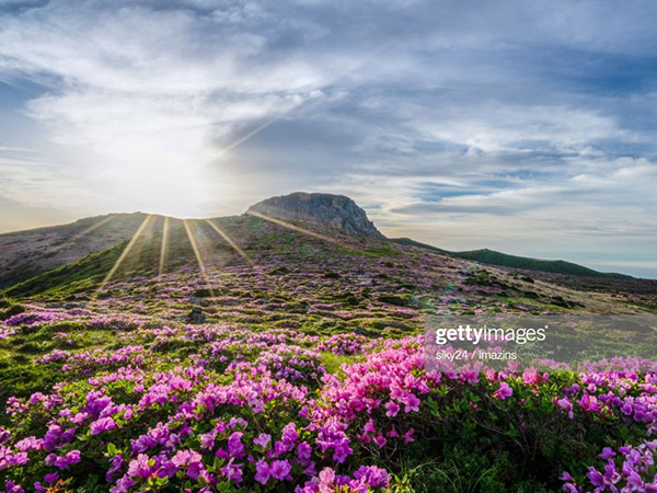 Indahnya Hamparan Bunga Azalea di Gunung Tiga Iklim, Hallasan Park