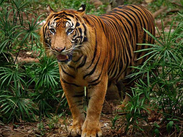 Perilaku Aneh Harimau Sumatera yang Ditangkap Di Padang Setelah Makan Sejumlah Hewan Ternak