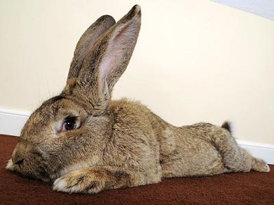 Ini Dia Kelinci Terbesar di Dunia yang Masuk dalam Guinness World Record!
