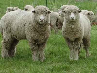 Paris Jadikan Domba Sebagai Mesin Potong Rumput