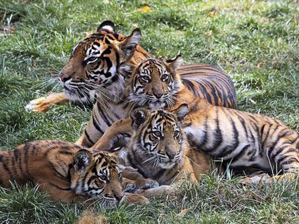 Jadi Viral, Video Kelahiran Harimau Langka Sumatera Ini Tuai Kebahagiaan di Youtube