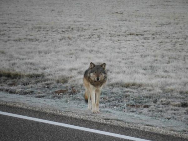 Terlihat Pertama Kalinya dalam 70 Tahun, Serigala Kembali Huni Grand Canyon!