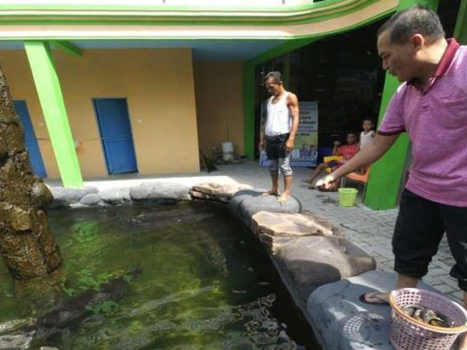 Ternyata Ikan Arapaima Telah Dibudidayakan Di Lokasi Ini Sebelum Dilepas Ke Sungai Brantas!