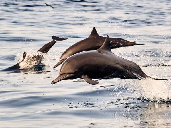 Tradisi Perburuan Brutal Lumba-Lumba di Jepang Ini Tuai Protes