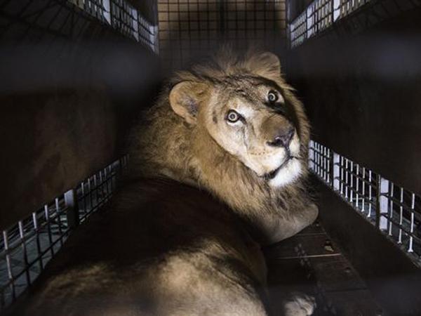 Terbukti Memangsa Manusia, Singa-Singa Ini Diancam Hukuman Penjara Seumur Hidup