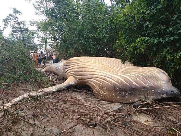 Langka dan Jauh dari Habitat, Bagaimana Paus Bungkuk Bisa Terdampar di Hutan Amazon?
