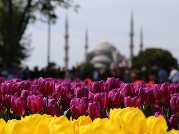 Bukan Belanda, Ternyata Tulip Aslinya Berasal Dari Negeri Kebab Ini!