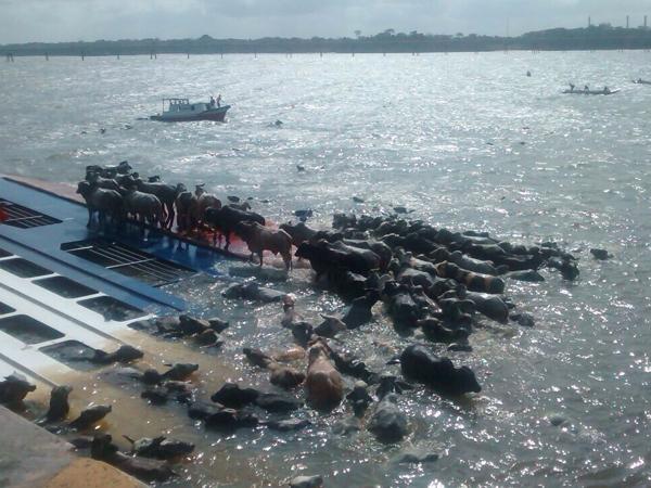 Kapal Kargo Terbalik, Ribuan Ekor Sapi Mati Tenggelam