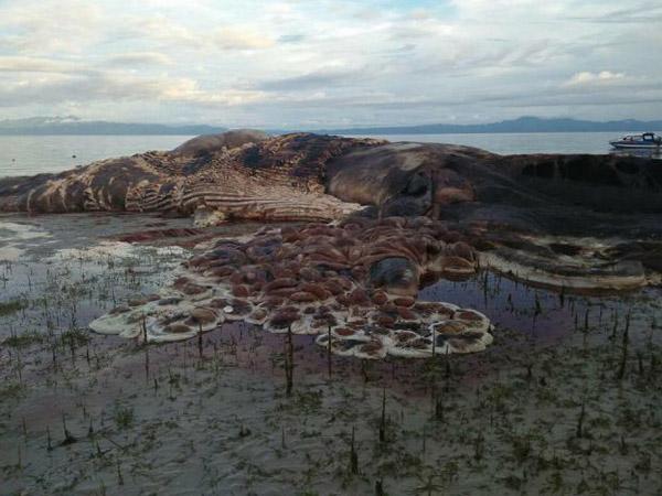 Makhluk Raksasa Misterius Terdampar di Laut Maluku Bikin Heboh, Cumi-Cumi atau Paus?