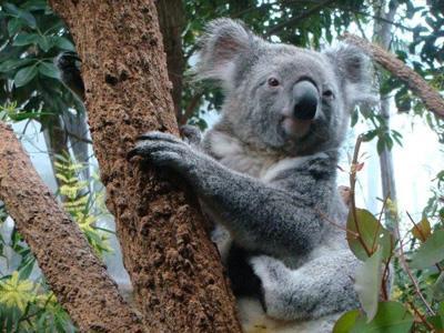 Koala Ini Kenal dengan Jennifer Lopez?