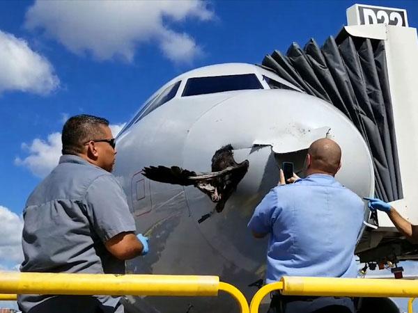 Kejadian Langka Burung Tersangkut di Pesawat Usai Tabrakan