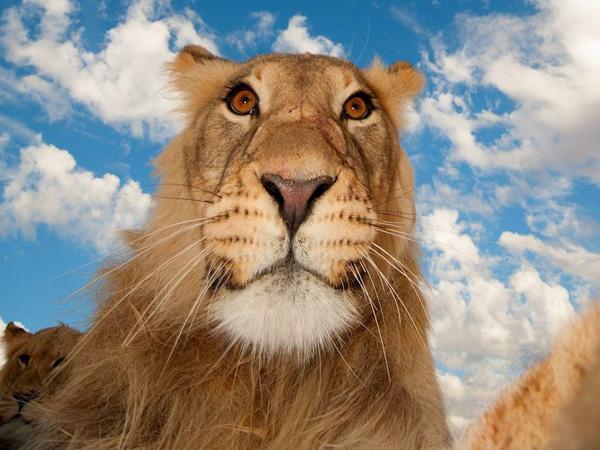 Begini Jadinya Jika Singa Liar di Padang Rumput Lakukan 'Selfie'
