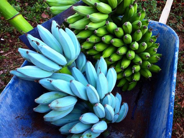 Blue Java Banana, Pisang Unik dari Hawaii yang Miliki Rasa Es Krim Vanila