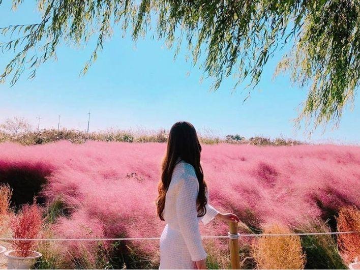 Menikmati Cantiknya Lautan Rumput Pink Muhly di Korea Selatan