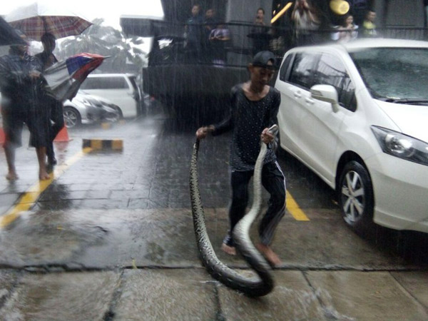 Hujan Deras, Ular Sanca Sepanjang 3 Meter Muncul Dari Banjir Kemang Raya