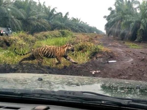 Ini Penampakan Terbaru Harimau Pemakan Karyawan Kebun Sawit yang Diberitakan Berperilaku Menyimpang