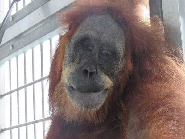 Kondisi Terkini Orangutan Hope yang Kritis Usai Ditembak 74 Peluru