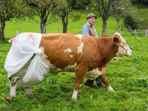Dilarang Buang Kotoran Sembarangan, Sapi di Eropa Terpaksa Pakai Popok!