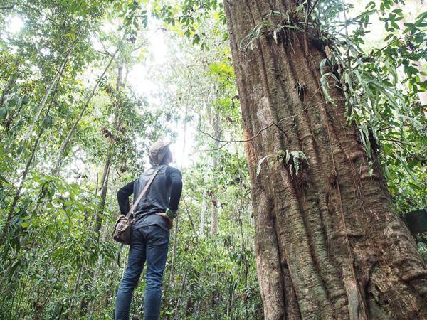 Berusia 1000 Tahun, Pohon Terbesar di Dunia Ada di Indonesia!
