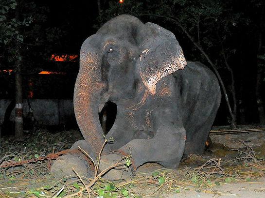 Raju, Gajah yang Disiksa 50 Tahun, Kini Telah Memiliki Kekasih!