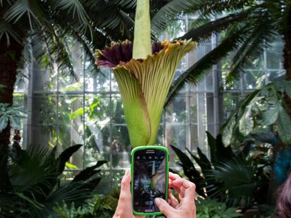 Tarik Perhatian, Bunga Tertinggi di Dunia Ini Tengah Mekar di Bengkulu