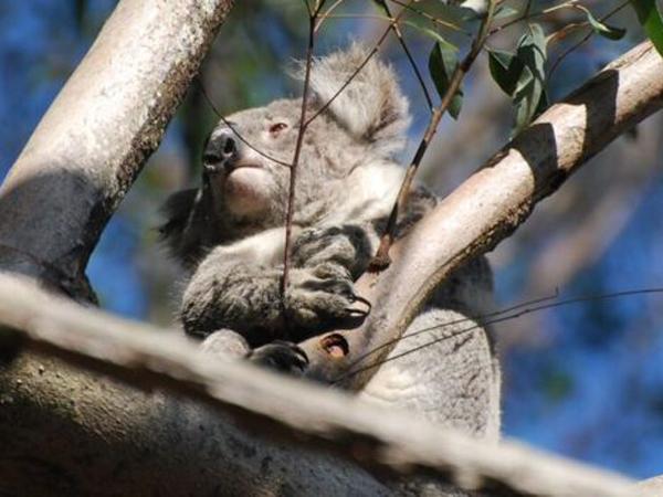 Di Ambang Kepunahan, Koala- Koala Kini Dipasangi GPS