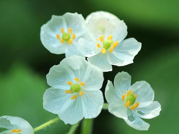 Cantiknya, Bunga Ini Berubah Jadi Bening dan Transparan Saat Kena Hujan