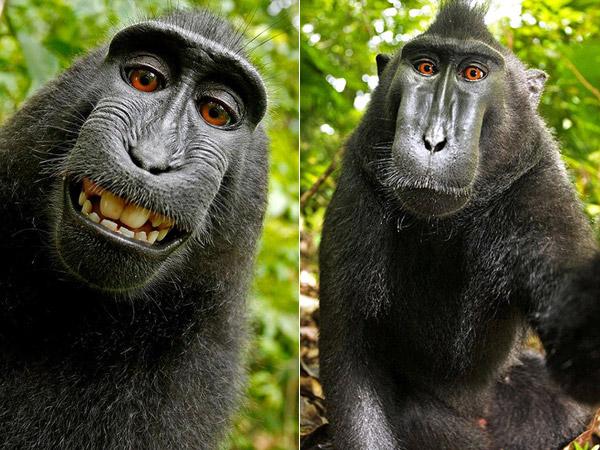 Sempat Viral, Monyet Selfie Sulawesi Ini Terancam Punah Karena Diburu dan Dikonsumsi