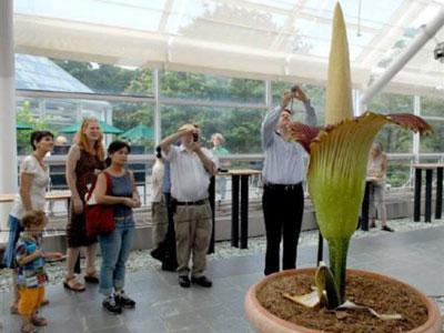 Wow, Bunga Bangkai Sumatera Mekar di Belgia