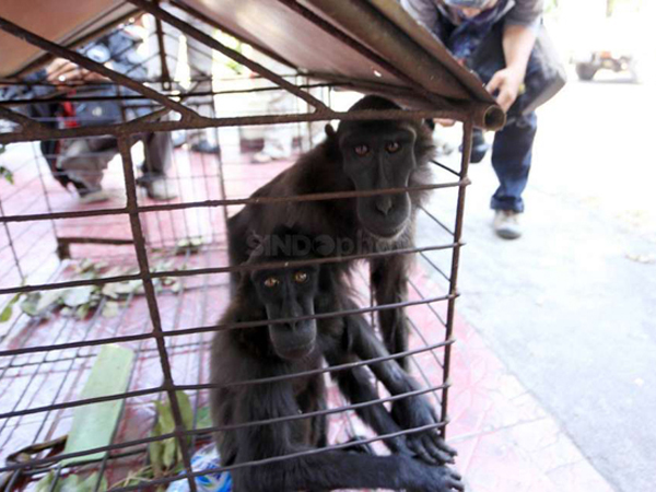 Selundupkan Simpanse di Betis, Warga Kuwait Ditangkap di Bandara Soetta