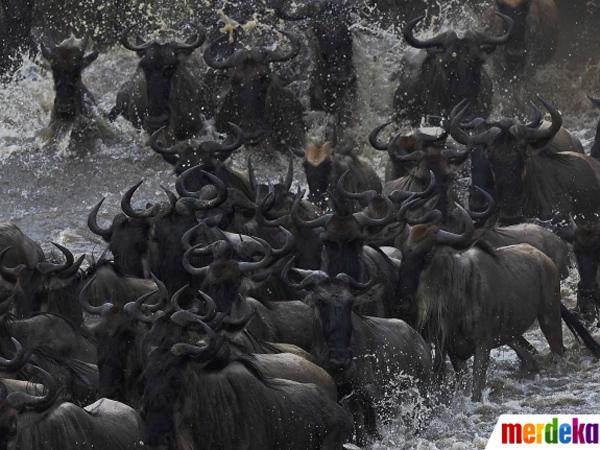 Upaya Bertahan Hidup, Ratusan Ribu Wildebeest Bermigrasi Gemparkan Netizen
