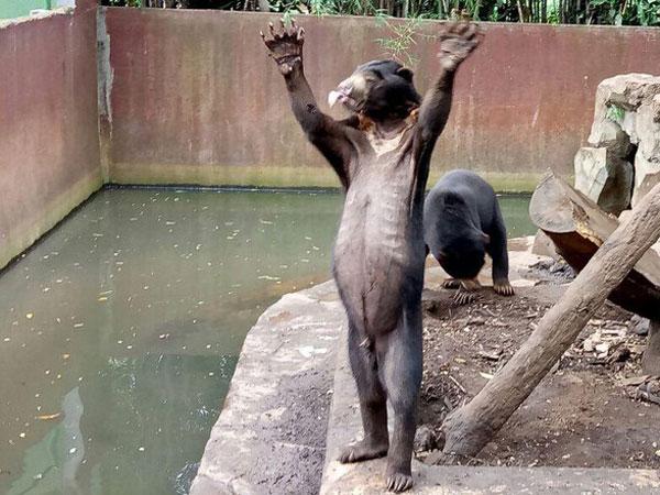 Viral dan Bikin Nama Kotanya Buruk, Ini Tanggapan Ridwan Kamil Soal Beruang Kurus di Kebun Binatang