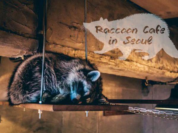 Mengintip Keseruan Makan Sambil Bermain dengan Para Rakun di Kafe Ini