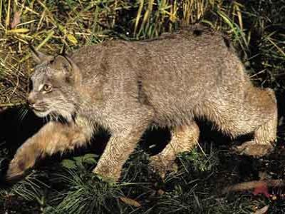 Awal Abad 20, Kucing Raksasa Punah di Inggris